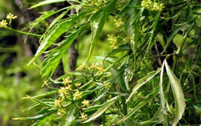 Bác sĩ giải đáp: Hoa đinh lăng có tác dụng gì?